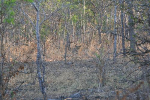 Львица ждет, пока мы закрепим мясо на дереве и уйдем, чтобы поесть.