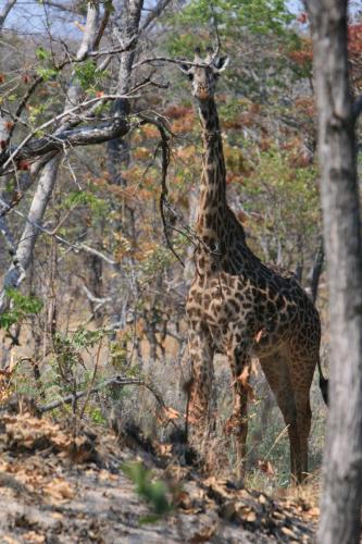 Жираф. Просто жираф. Стрелять такую красоту я пока не созрел, жалко.