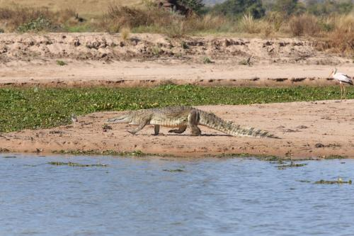 Слухи о медлительности крокодилов распускают сами крокодилы!
