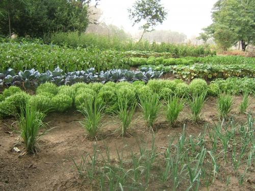 Плантация свежей зелени на огороде при лодже