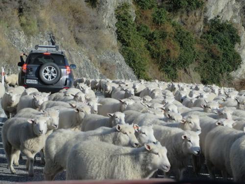 Овец в Новой Зеландии столько, что их приходится более, чем по 2 на душу населения