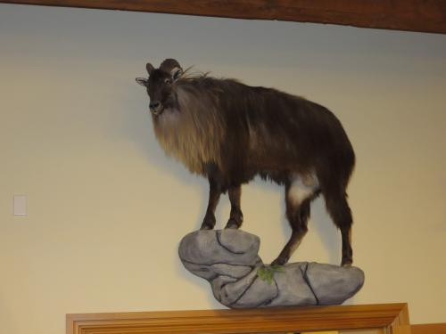 Гималайский тар на исторической родине краснокнижный, а в Новой Зеландии разрешен к трофейной охоте