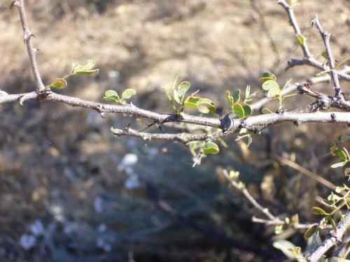 Крючки колючек, направленные к стволу — одна из разновидностей знаменитого «Держи-дерева»