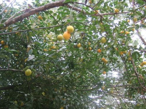 """""""Monkey orange"""" - дикие апельсины в буше"""